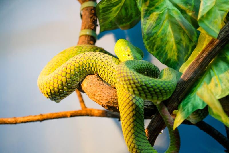 foto giftige groene slang, koufa royalty-vrije stock afbeeldingen