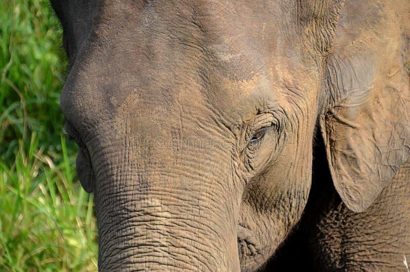 Foto grande del detalle de la cabeza del elefante en naturaleza fotos de archivo libres de regalías