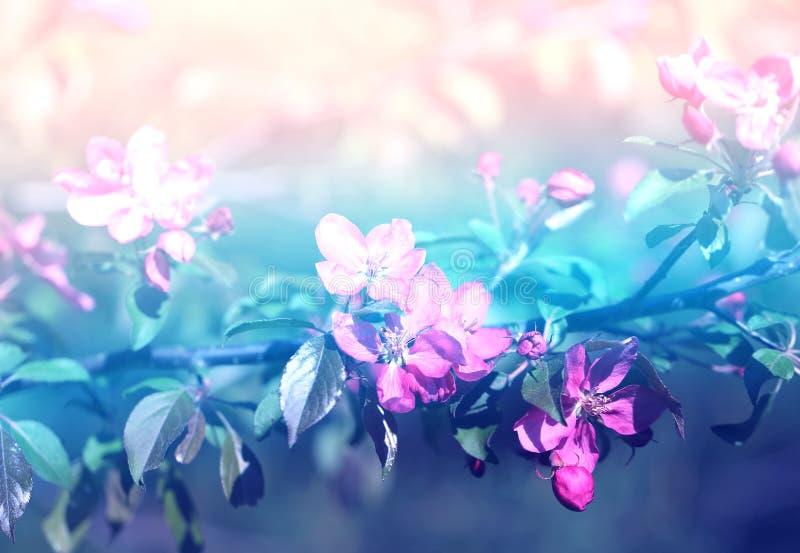 Foto hermosa de las flores rosadas de Sakura de la primavera en primavera temprana fotografía de archivo