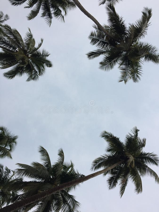 Foto hermosa del árbol de coco de la naturaleza foto de archivo libre de regalías