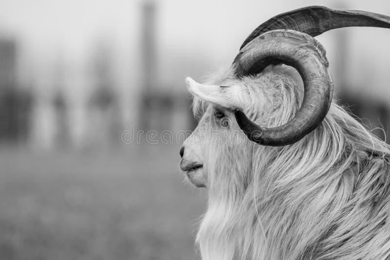 Foto-imagen blanco y negro del retrato de la cabra de Kiko fotografía de archivo