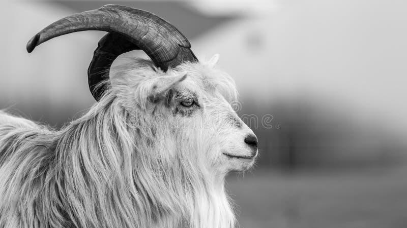 Foto-imagen blanco y negro del retrato de la cabra de Kiko imágenes de archivo libres de regalías