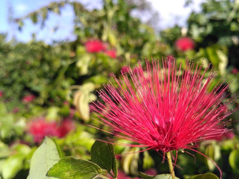 Foto impresionante del solo fondo dulce colorido rosado de la flor imagen de archivo