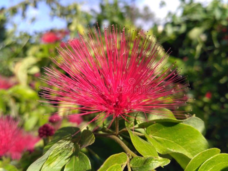 Foto impresionante del solo fondo dulce colorido rosado de la flor fotos de archivo