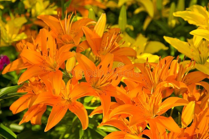 A foto lírios amarelos bonitos de Bush de grandes imagens de stock royalty free