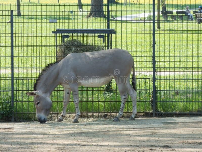 Foto laterale di un asino grigio con i capelli di scarsità fotografie stock