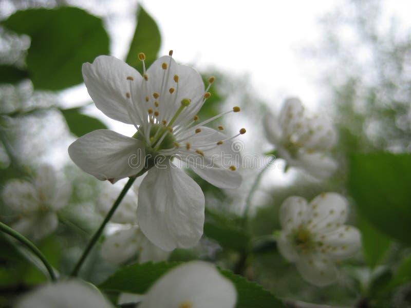Foto macra con la textura decorativa del fondo de los pétalos delicados blancos de flores en la rama del árbol frutal de la cerez fotografía de archivo