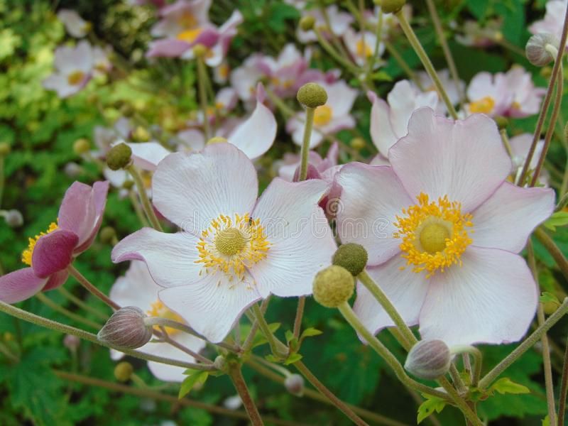 Foto macra con la textura decorativa del fondo de pétalos blancos delicados de flores de la anémona de la planta del arbusto para fotografía de archivo libre de regalías