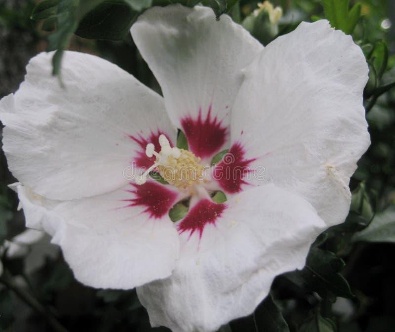 Foto macra con una textura decorativa del fondo de flores hermosas con los hibiscos imperecederos del arbusto de los pétalos blan fotografía de archivo