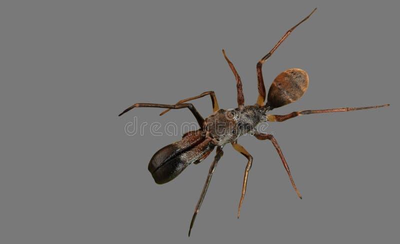 Foto macra de Ant Mimic Jumping Spider Isolated en Gray Backgro foto de archivo libre de regalías