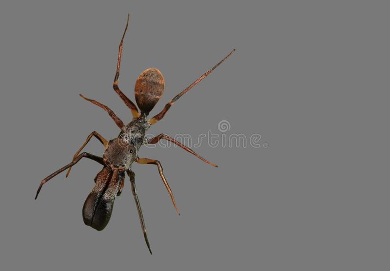 Foto macra de Ant Mimic Jumping Spider Isolated en Gray Backgro imágenes de archivo libres de regalías