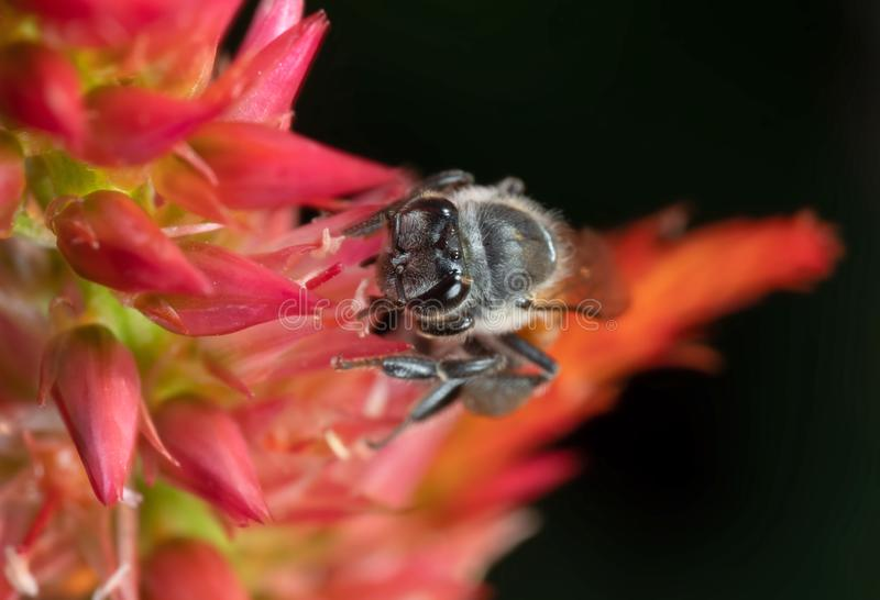 Foto macra de Honey Bee Collecting Nectar de una flor, foco selectivo foto de archivo libre de regalías