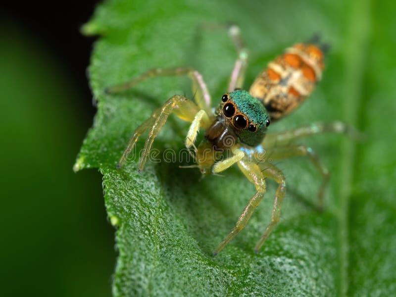 Foto macra de la araña de salto colorida con la presa en la hoja verde fotografía de archivo