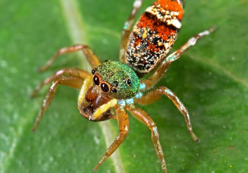 Foto macra de la araña de salto colorida en la hoja verde foto de archivo