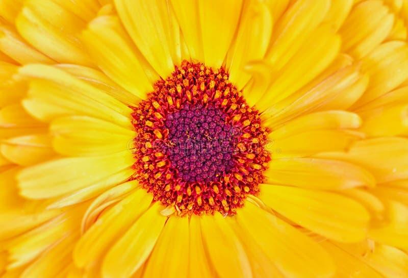Foto macra de la flor amarilla y anaranjada fotos de archivo libres de regalías