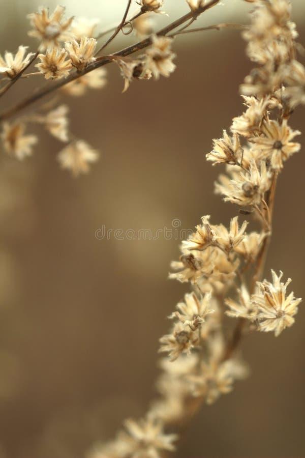 Foto macra de la hierba seca de las flores en marrón borroso foto de archivo libre de regalías