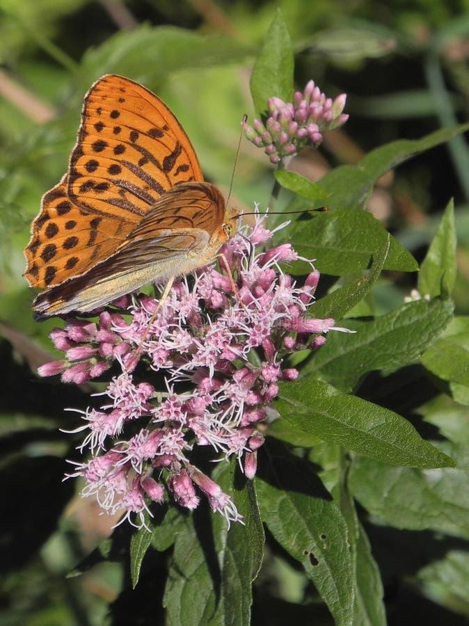 Foto macra de la mariposa plata-lavada del fritillary o del paphia del Argynnis que se sienta en Joe-Pye-mala hierba de la flor fotografía de archivo