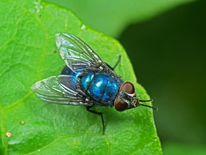 Foto macra de la mosca azul de la botella en la hoja verde foto de archivo