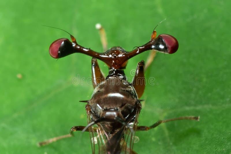 Foto macra de la mosca Tallo-observada en la hoja verde imagen de archivo libre de regalías