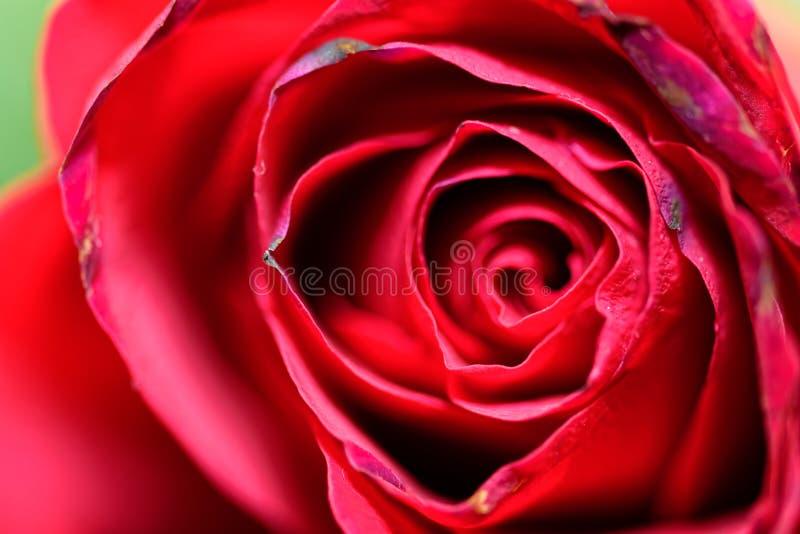 Foto macra de la rosa roja foto de archivo libre de regalías