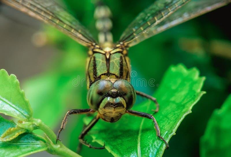 Foto macra de la vida de la libélula en mi jardín fotos de archivo libres de regalías