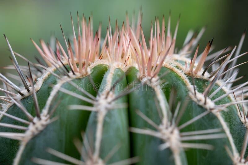 Foto macra de las agujas rosadas en el top de una planta del cactus foto de archivo