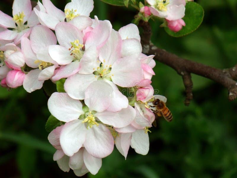 Foto macra de las flores del manzano con una abeja imágenes de archivo libres de regalías