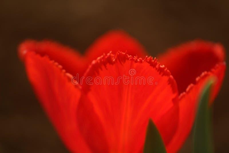 Foto macra de pétalos de un brote de un tulipán rojo en el borde con una franja fotos de archivo