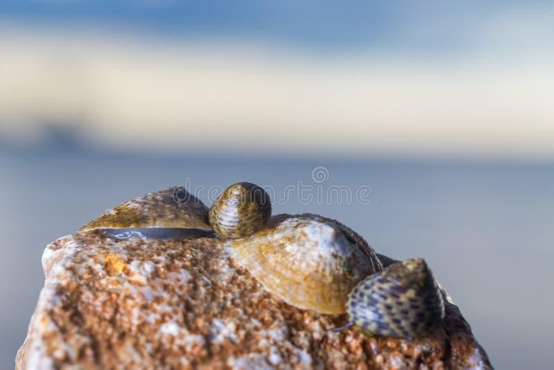 Foto macra de un grupo de conchas marinas que mienten en la playa rocosa foto de archivo libre de regalías