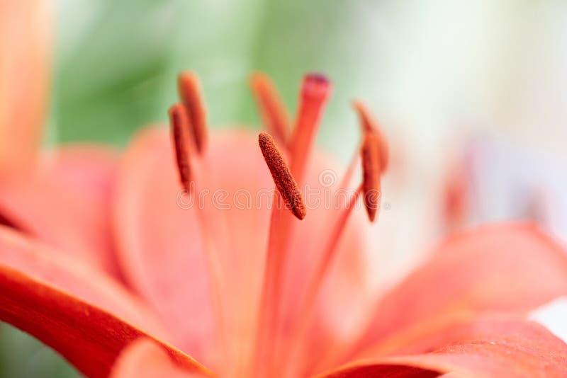 Foto macra de un lirio rojo hermoso de un ramo que se casa Los estambres de la flor se cierran para arriba fotos de archivo