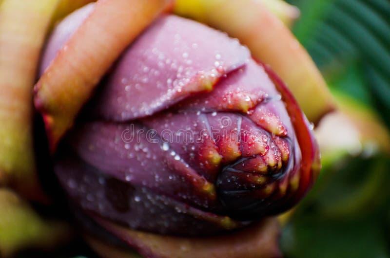 Foto macra de un plátano de la flor foto de archivo