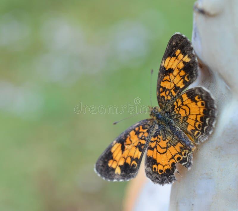 Foto macra de una mariposa creciente de la perla anaranjada y negra foto de archivo