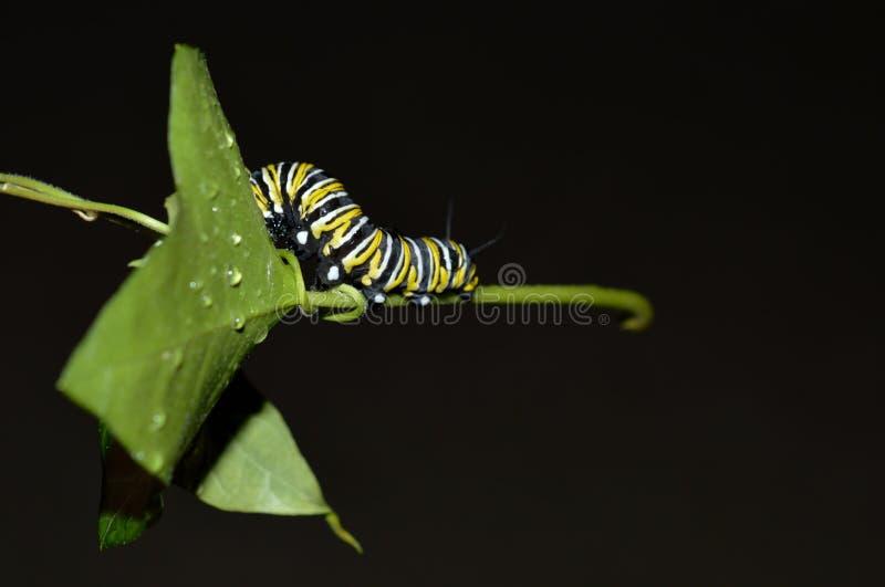 Foto macra de una oruga del monarca afuera en una hoja verde al día lluvioso fotos de archivo