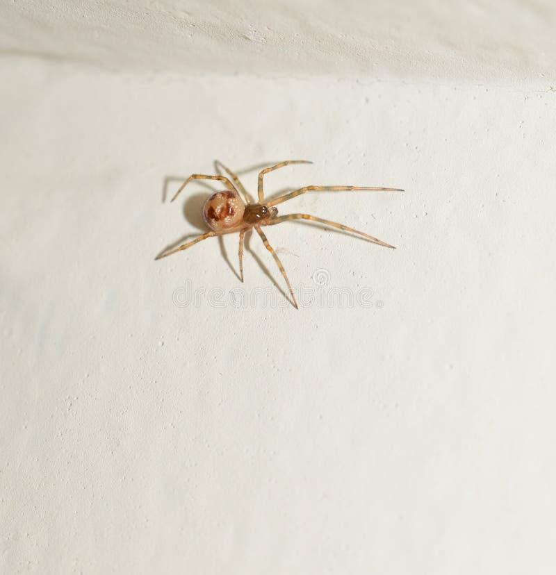 Foto macra de una pequeña araña marrón del saco imagen de archivo libre de regalías