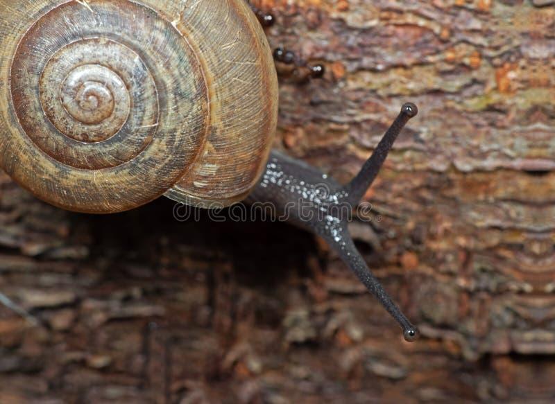 Foto macra del caracol de tierra en corteza de árbol fotografía de archivo libre de regalías