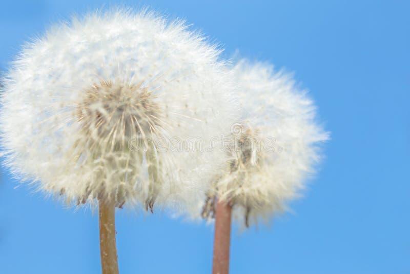 Foto macra del diente de león floreciente de dos flores blancas de la naturaleza en el cielo azul hermoso fotos de archivo libres de regalías
