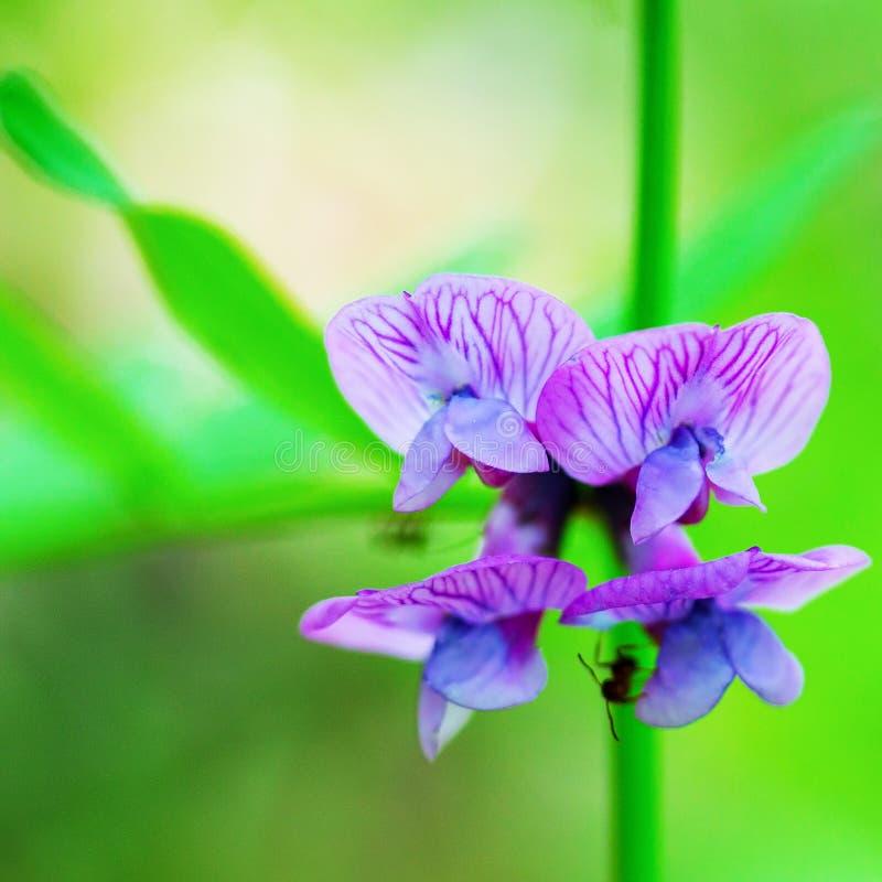 Foto macra del verano floreciente de la arveja foto de archivo