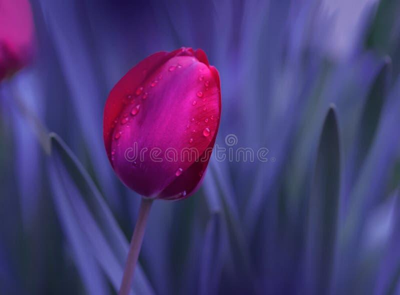 Foto macro abstrata E Projeto da fantasia Arte moderna Tulip colorido Bandeira das flores Background imagem de stock royalty free