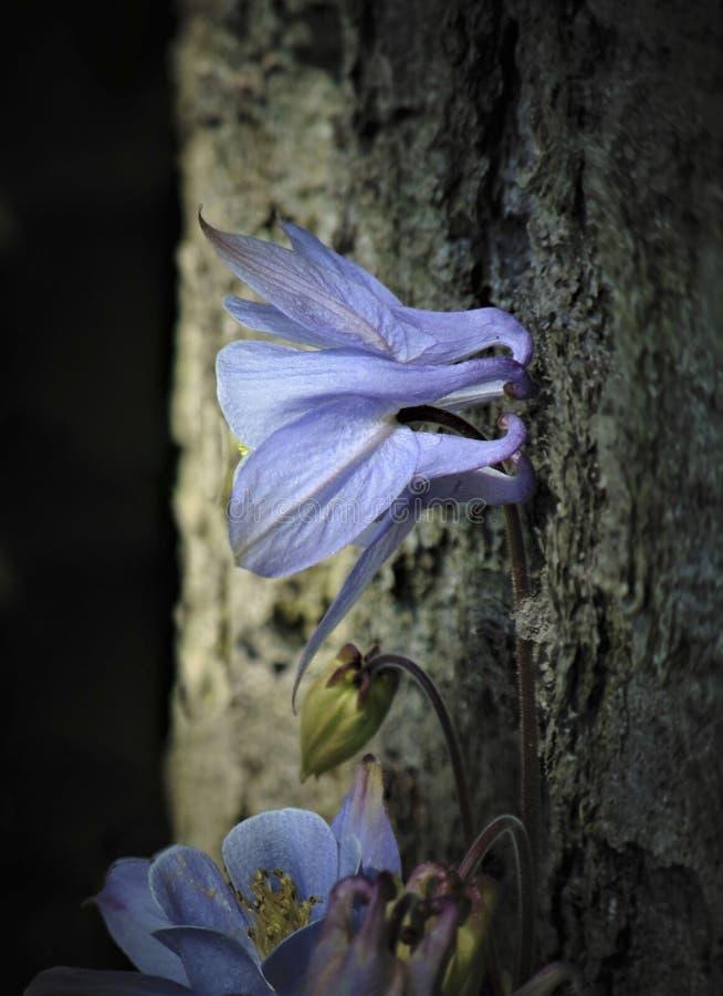 A foto macro com as pétalas delicadas bonitas de uma textura decorativa do fundo de Aquilegia floresce imagem de stock royalty free