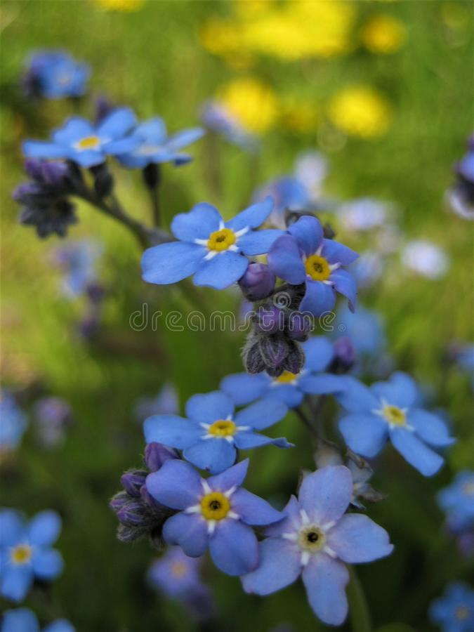 Foto macro com fundo bonito decorativo de plantas do miosótis das flores da floresta selvagem ou da família gramínea Boraginacea  fotos de stock royalty free