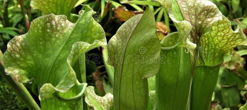 A foto macro com fundo decorativo de plantas tropicais floresce predadores imagens de stock