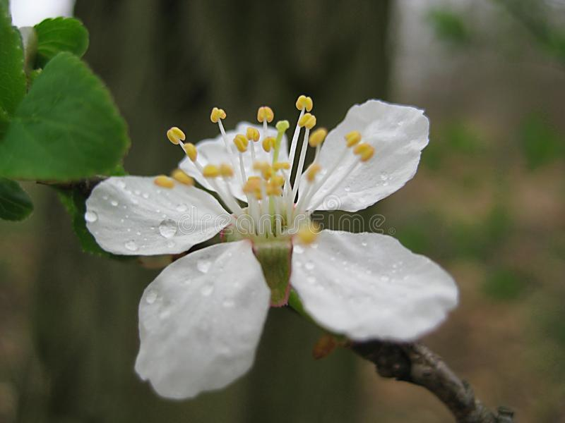 Foto macro com textura decorativa do fundo das pétalas brancas bonitas com gotas da chuva de mola nas flores da cereja selvagem fotografia de stock royalty free