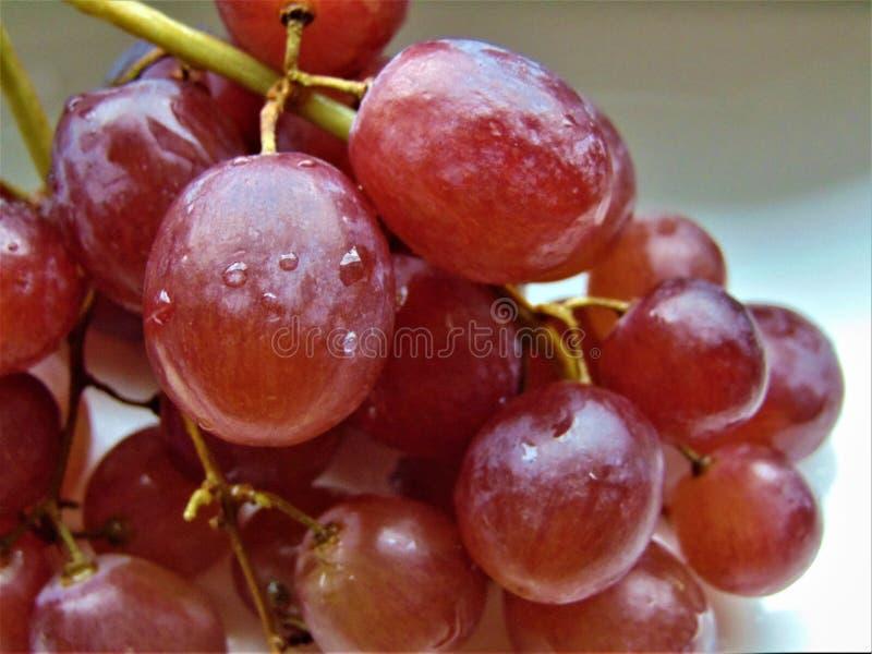 Foto macro com um ramo bonito de bagas doces frescas de uvas vermelhas nas gotas de água imagem de stock royalty free