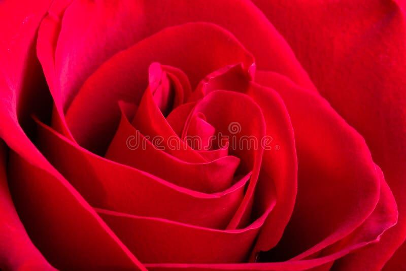 Foto macro cor-de-rosa vermelha das pétalas de um botão imagens de stock royalty free