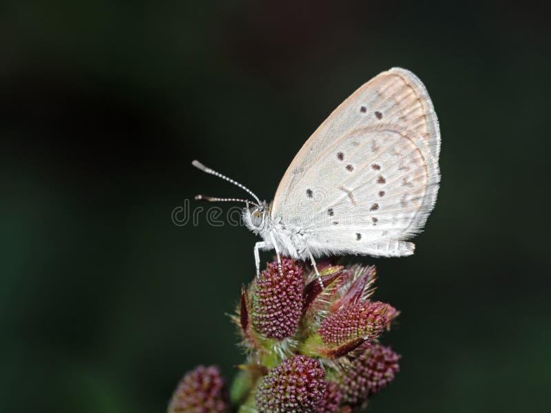 Foto macro da borboleta pequena de Brown em flores em botão imagens de stock