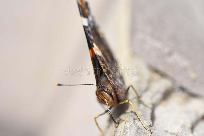 Foto macro da cara da borboleta com probóscide e antenas do batedor de ovos imagens de stock