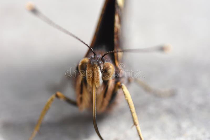 Foto macro da cara da borboleta com probóscide e antenas do batedor de ovos imagens de stock royalty free
