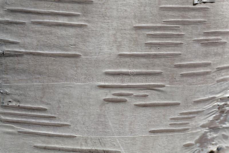Foto macro da casca de árvore do vidoeiro fotografia de stock royalty free