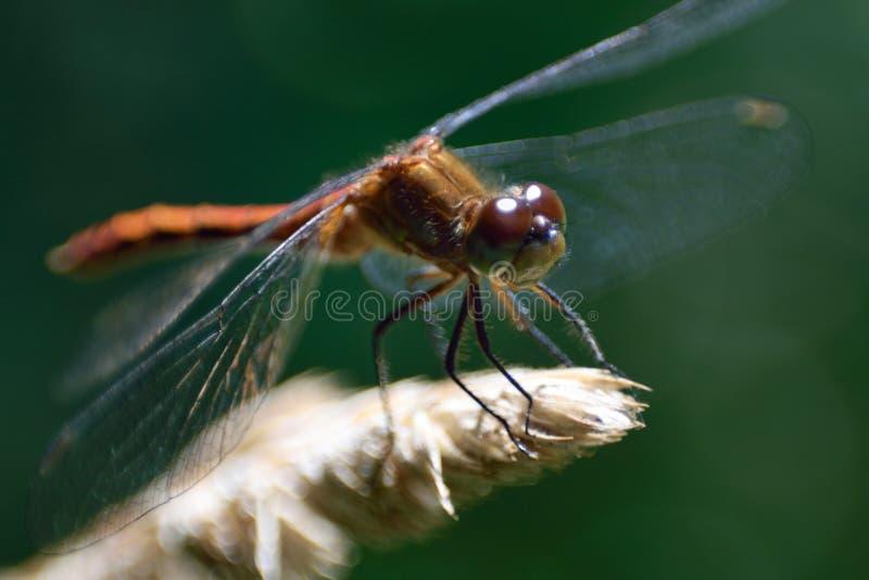 Foto macro da libélula no sol fotografia de stock royalty free