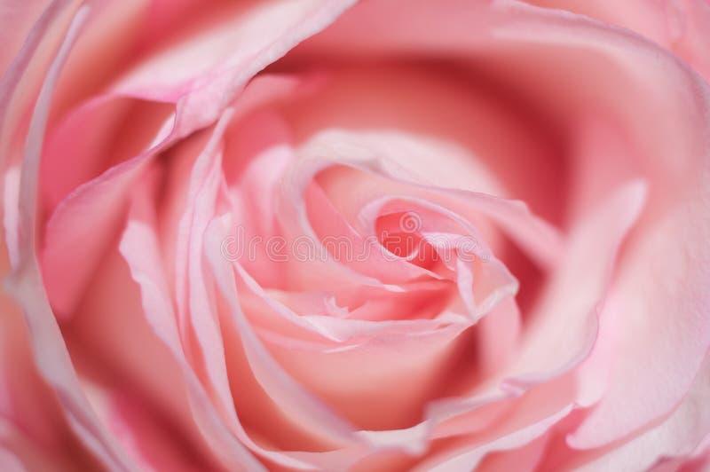 Foto macro da rosa doce do rosa Imagem macia, foco seletivo fundo romântico fotos de stock